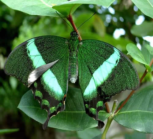 Banded Peacock/Emerald Swallowtail
